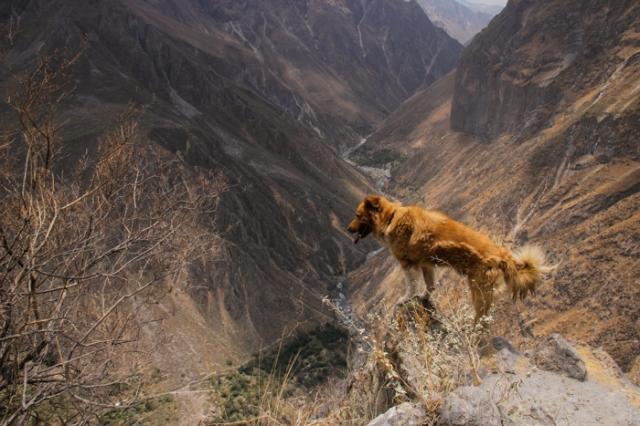 stray peruvian dogs